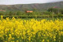 رعایت تناوب زراعی و کشت کلزا باعث رونق کار کشاورزان میشود
