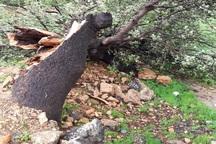 تخریب 3 هزار اصله درخت کهنسال بلوط در کهگیلویه و بویراحمد