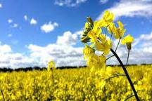 پیش بینی برداشت ۴۳۸ تن محصول کلزا در میاندوآب
