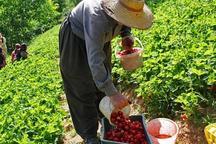 13 هزار بهره بردار کردستانی در تولید توت فرنگی اشتغال دارند
