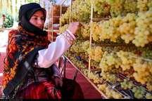 برداشت انگور کشمشی از تاکستان های خراسان شمالی آغاز شد