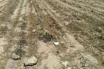 محصول بیش از یکهزار هکتار از مزارع چغندرقند دزفول برداشت نشده است