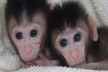 اجرای موفقیت آمیز طرح تکثیر میمون آزمایشگاهی در موسسه رازی