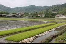 اولین خزانه گیری برنج در املش انجام شد