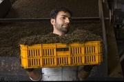 کیفی سازی  تولید ، راهی برای رونق بازار چای داخلی