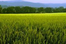 توصیه های مدیر زراعت گلستان به گندمکاران برای مقابله با تهدید بیماری خوشه