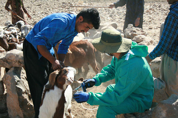 بیش از 145 هزار راس دام در ایرانشهر واکسینه شدند
