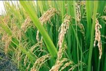 آغاز کشت تابستانه در خوزستان  کاهش 70درصدی نشاکاری برنج