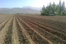 افزون بر چهار هزار هکتار زمین به کشت سیب زمینی اختصاص یافت