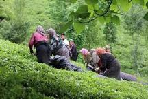 بازگشت بیش از پنج هزار هکتار از باغات چای به چرخه تولید
