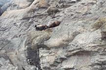 15 راس گوسفند در صخره های کوه های تکاب گرفتار شدند