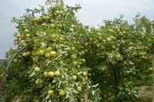 آفات باغ های میوه خلخال را تهدید می کند