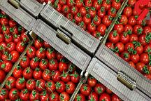 صادرات گوجه فرنگی گلخانه ای بوشهر آزاد است