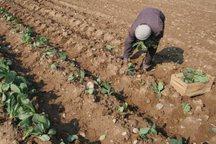 هرمزگان در ردیف استان های پیشتاز تولید سبزی و صیفی قرار دارد