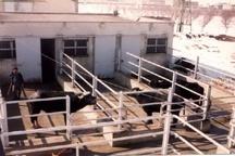 اجرایی شدن پروژه اصلاح نژاد دام  روستایی در خوزستان