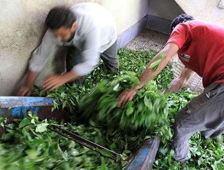 خرید 70 تن برگ سبز چای از چایکاران املش