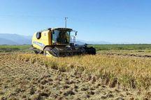 برداشت برنج در شادگان آغاز شد