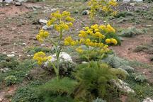 تعاونیهای گیاه درمانی با تضمین خرید محصول در کردستان تشکیل میشود