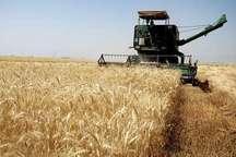 120 هزار تن گندم از مزارع شهرستان دهلران برداشت شد