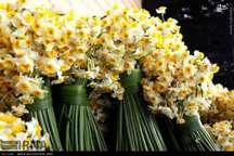 دانشجویان گرگانی محلول نگهدارنده گل نرگس را ساخته و به ثبت رساندند