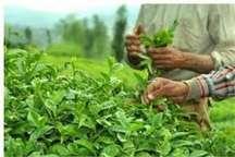 افزون بر 76 هزار تن برگ سبز چای از باغداران شمال کشور خریداری شد