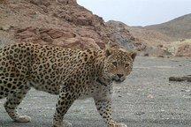 تصویر پلنگ ایرانی درسفید کوه خرم آباد ثبت شد+عکس