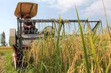 برداشت اولین برنج در شالیزارهای ساری