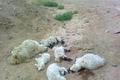 230 راس از دام های روستای چنگ الماس ابهر تلف شدند