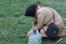 برداشت سبزی های محلی در خلخال آغاز شد