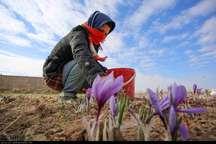 گل زعفران برفراز کوه های دیلمان شکفت