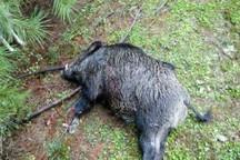 شکارچیان گراز در دزفول دستگیر شدند