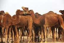 کشف 18 نفر شتر قاچاق در بردسکن