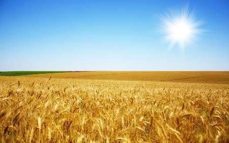 پایان قطعی خرید تضمینی محصول گندم در خوزستان  خرید بیش از1.3میلیون تن گندم
