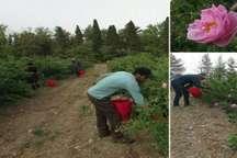 آغاز برداشت گل محمدی در نطنز و پیش بینی درآمد 20 میلیارد ریالی کشاورزان