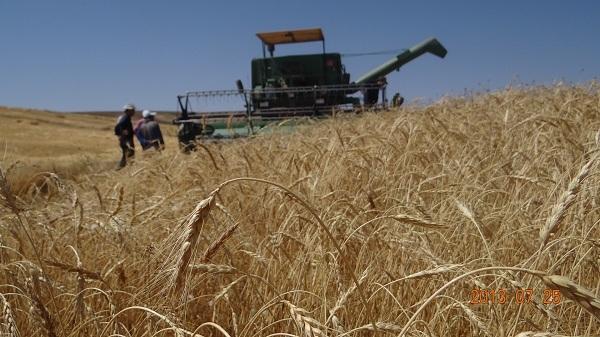 پیش بینی افزایش 50 درصدی برداشت گندم در سلماس