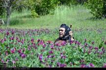 گیاهان دارویی ظرفیت بیمار مازندران - رضا غلامی*