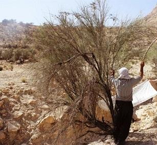 67 هزار هکتار جنگل طبیعی و دست کاشت در دشتی بوشهر وجود دارد