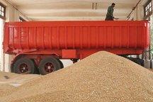 40 هزار تن گندم با آغاز فصل برداشت در ایلام خریداری شد