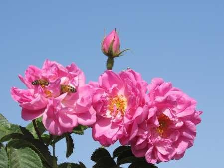 گونه های برتر گل محمدی در خراسان جنوبی مورد بررسی قرار گرفت