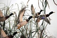 شکارچی خاطی چهار قطعه اردک سرسبز مهاجر را شکار کرد