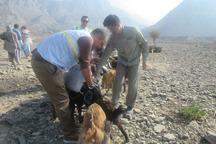 18 هزار راس دام منطقه حفاظت شده پوزک نیکشهر واکسینه شدند