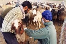 300 هزار راس دام در کردستان علیه بیماری طاعون واکسینه می شود