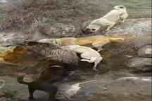عاملان حیوان آزاری در شهرستان کوثر دستگیر شدند