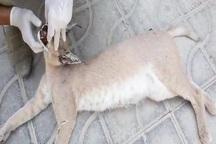 گربه سان کمیاب در کازرون تلف شد