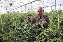 ایجاد افزون بر سه هزار و ۵۰۰ شغل با کشت گلخانهای در گیلان