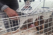 دستگیری فروشنده کبک در نیشابور