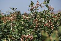 تولید پسته در خور و بیابانک 90 درصد کاهش یافت