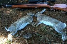 شکارچیان خرگوش وحشی در آوج دستگیر شدند