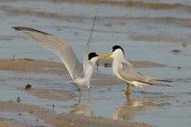 جوجه آوری پرندگان در جزایر دریاچه سد زاینده رود آغاز شد