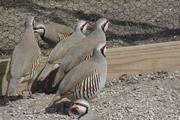 ۳۶ قطعه پرنده وحشی در خواف کشف شد